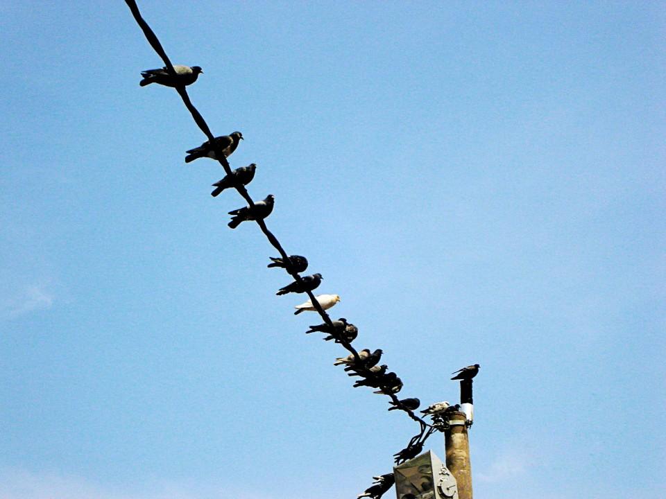 Pombos na fiação do radar